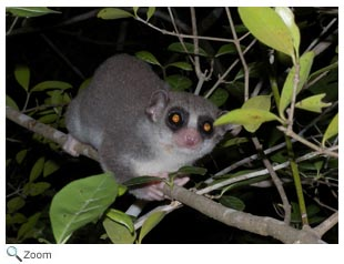 Western Fat-tailed Dwarf Lemur