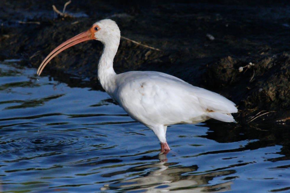 white ibis eudocimus albus natureworks