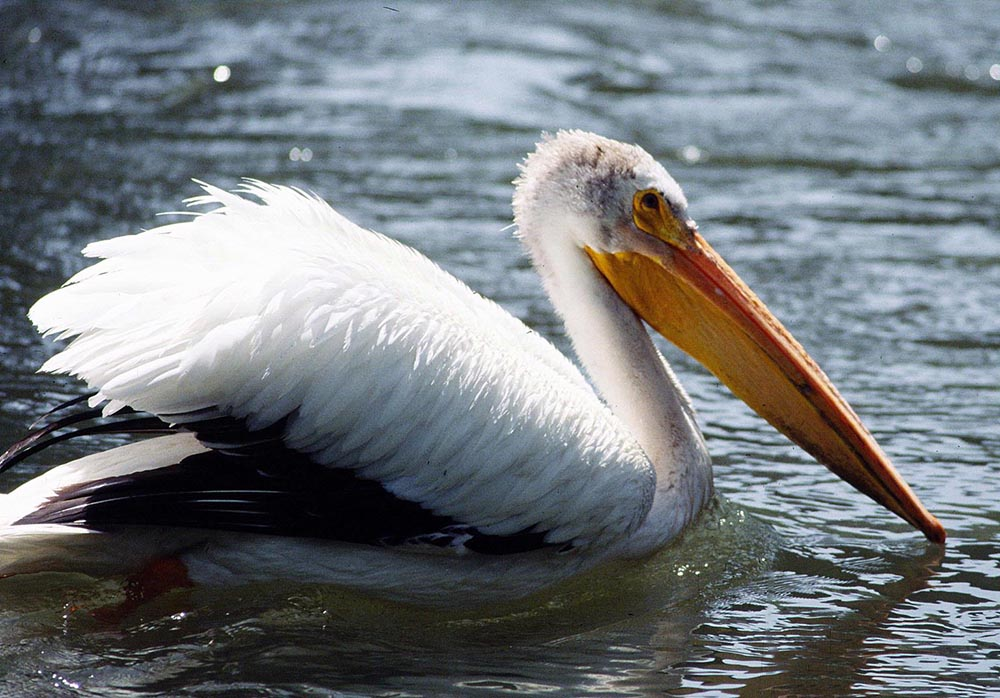 american white pelican pelecanus erythrorhynchos natureworks