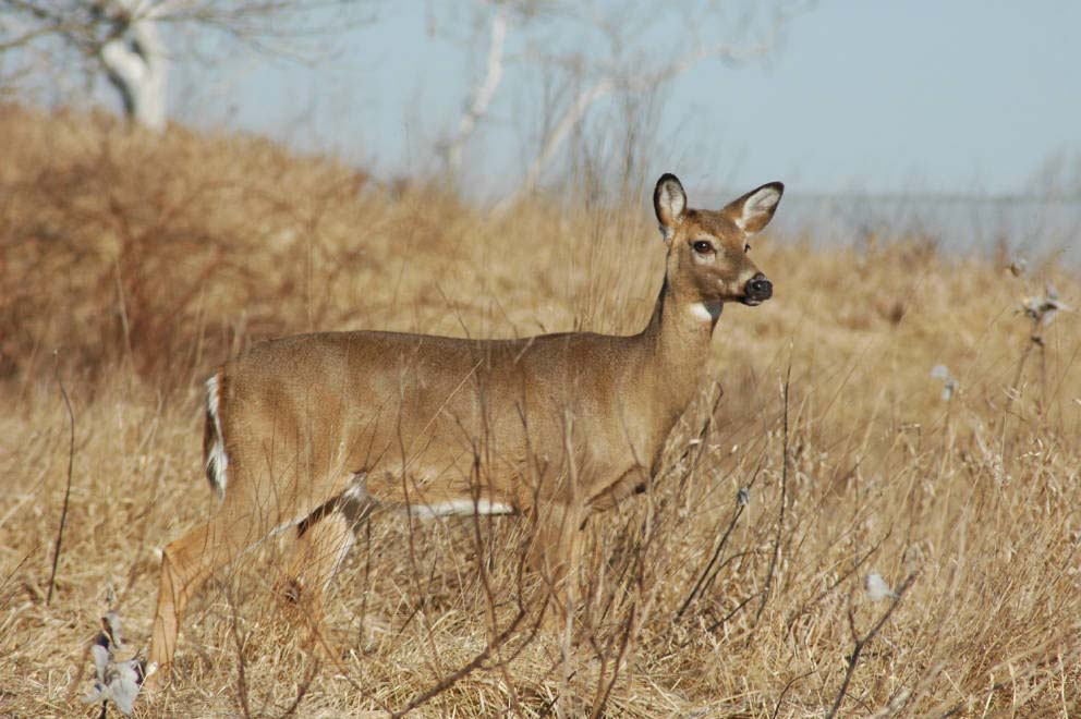 White Tailed Deer Odocoileus Virginianus Natureworks