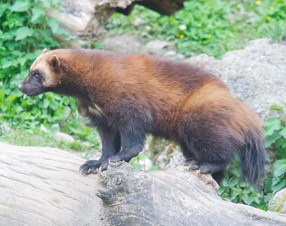 Wolverine Gulo Gulo Natureworks