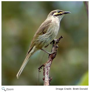 Yellow-face honeyeater