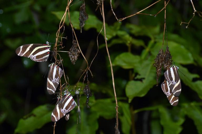 Zebra Longwing Butterfly - Heliconius charitonius - NatureWorks